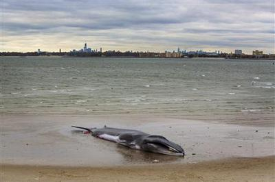 Whale stranded on New York City beach dies: official