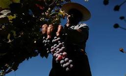Foto de archivo de un recolector en el viñedo Los Perales, Chile, abr 16 2004. La tasa de desempleo en Chile cayó a un 6,2 por ciento en el trimestre móvil septiembre-noviembre, su mínimo en casi tres años, debido principalmente a una mayor contratación en el sector agrícola. REUTERS/Carlos Barria