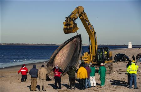Researches use heavy machinery to perform a necropsy on a dead finback whale that had washed up on the shore of the Queens borough region of Breezy Point, New York, December 28, 2012. REUTERS/Lucas Jackson