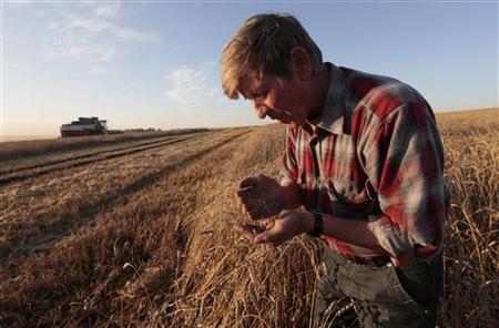 An employee inspects wheat in a field of the ''Svetlolobovskoye'' farm outside the village of Svetlolobovo, some 390 km south of Russia's Siberian city of Krasnoyarsk, September 3, 2012. REUTERS/Ilya Naymushin