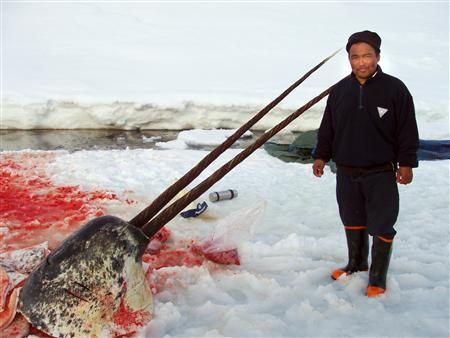 File photo dated May 12, 2007 shows sealer Aron Aqqaluk Kristiansen from the Kangersuatsiaq, Upernavik commune in Greenland posing with the carcass of a narwhal. REUTERS/Scanpix/Nikolaj Svendsen/Files