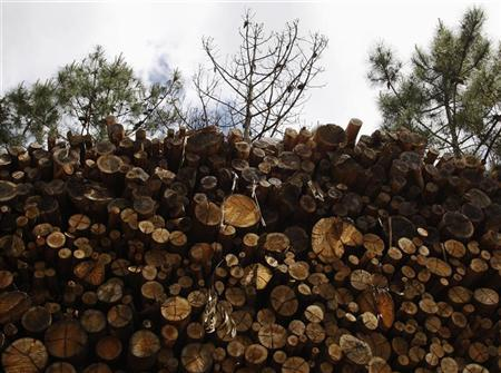 A dead wild pine tree is seen behind a pile of eucalyptus logs in Arganil, central Portugal April 28, 2008. REUTERS/Jose Manuel Ribeiro