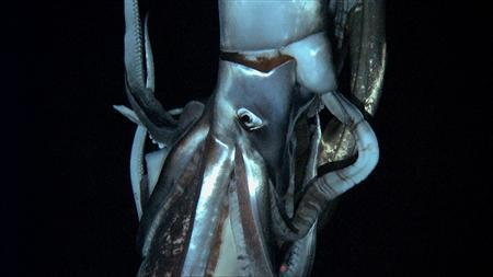 A giant squid is seen in this still image taken from video captured from a submersible by a Japanese-led team of scientists near Ogasawara islands taken in July 2012, in this handout picture released by NHK/NEP/Discovery Channel in Tokyo January 7, 2013. The scientists have captured on film the world's first live images of a giant squid, journeying to the depths of the ocean in search of the mysterious creature thought to have inspired the myth of the ''kraken'', a tentacled monster. Picture released on January 7. REUTERS/NHK/NEP/Discovery Channel/Handout