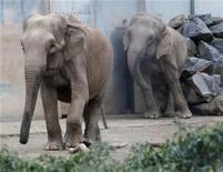 """François Hollande ne """"graciera"""" pas Baby et Népal, les deux éléphantes tuberculeuses du parc de la Tête d'Or de Lyon menacées d'euthanasie, au risque de voir Brigitte Bardot mettre à exécution sa menace de prendre la nationalité russe. /Photo prise le 6 janvier 2013/REUTERS/Robert Pratta"""