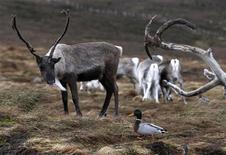 Unos 3.000 renos que viven en una isla cerca de la Antártida serán sacrificados para detener el daño al entorno que plantean los descendientes de un diminuto rebaño introducido hace un siglo por balleneros noruegos como fuente de alimento. En la imagen de archivo, un pato pasa junto a un reno en las montañas de Cairngorm, Escocia. REUTERS/David Moir