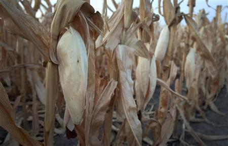 A damaged corn field in Harvey County, in central Kansas in this August 7, 2012, file photo. The government declared much of the central and southern Wheat Belt a natural disaster area on January 9, 2013, due to persistent drought that imperils this year's winter wheat harvest. REUTERS/Jeff Tuttle/Files
