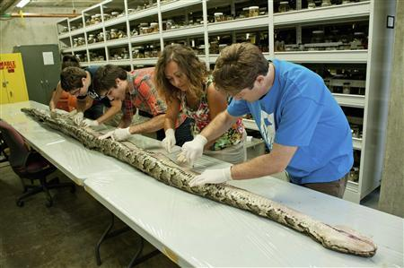 Researchers at the Florida Museum of Natural History in Gainesville, Florida examine a 17-foot-7-inch Burmese python which was captured in Everglades National Park in this handout picture taken on August 10, 2012 and released on August 14, 2012. A python hunting competition starting January 12, 2013 is drawing hundreds of amateurs armed with clubs, machetes and guns to the Florida Everglades, where captured Burmese pythons have exceeded the length of minivans and weighed as much as grown men. REUTERS/Kristen Grace/Florida Museum of Natural History at University of Florida/Handout