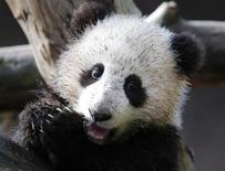 Giant Panda cub Xiao Liwi is shown for the first time on public display after the section of the exhibit frequented by the five-month old bear was opened to the public at the San Diego Zoo in San Diego, California, January 10, 2013. The bear was born on July 29, 2012 from mother Bai Yun. REUTERS/Mike Blake