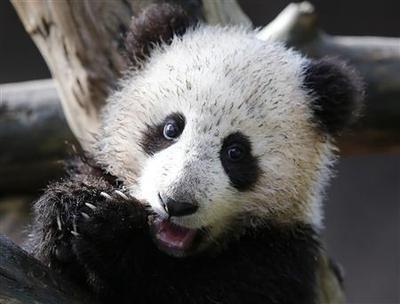 Rare Panda cub makes public debut at San Diego Zoo