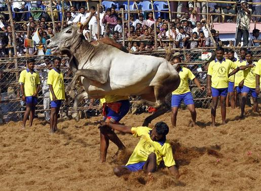 Villagers try to control a bull during a bull-taming festival on the outskirts of Madurai town, about 500 km from Chennai January 15, 2013. The annual festival is part of south India's harvest festival of Pongal. REUTERS/Babu