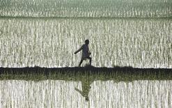 Фермер разбрасывает удобрения на рисовом поле в индийской деревне Траури 5 июля 2011 года. Индия не спешит заключать новый контракт с Белорусской калийной компанией, эксклюзивным трейдером Уралкалия и Беларуськалия, из-за переизбытка калийных удобрений на рынке, сказал на пресс-конференции индийский посол в Белоруссии Манодж Бхарти. REUTERS/Ajay Verma