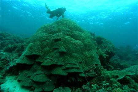 An Australian Institute Of Marine Science (AIMS) diver inspects large Porites coral on the Great Barrier Reef, in this handout photo released to Reuters on February 10, 2011. REUTERS/Eric Matson/AIMS/Handout