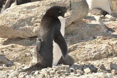 El pescado del antártico debería tener miedo. Hay un insólito depredador sigiloso que anda suelto: los pingüinos Adelie. En la imagen, de 7 de enero, un pingüino Adelie con una cámara atada a su espalda en Langhovde, cerca de la Antártida. REUTERS/Yuuki Watanabe/National Institute of Polar Research/Handout