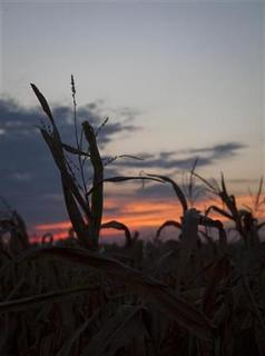 A damaged corn field in Baron County, in central Kansas August 7, 2012. REUTERS/Jeff Tuttle