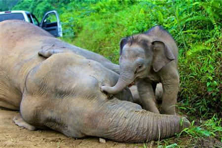A pygmy elephant calf walks next to its dead mother in Gunung Rara Forest Reserve in the Malaysia's state of Sabah on Borneo island, in this picture taken January 23, 2013 and released to Reuters January 29, 2013. REUTERS/Sabah Wildlife Department/Handout