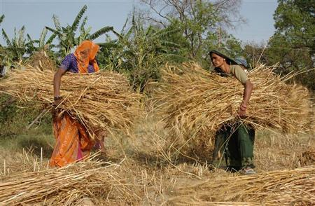 Farmers carry wheat crop in a field at Bhadari village, 30 km (19 miles) from Allahabad April 8, 2008. REUTERS/Jitendra Prakash/Files