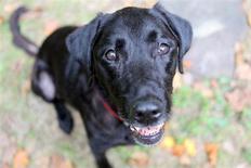 El perro labrador celebró su reinado de 22 años como mandamás de Estados Unidos, pero un decidido bulldog le está ganando terreno en las apuestas de popularidad. En la imagen de archivo, Red, un labrador de 12 años, que trabajó con los servicios de emergencia estadounidenses. REUTERS/Molly Riley