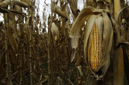 The last of the 2012 drought-stricken corn is seen at Mayne's Tree Farm in Buckeystown, Maryland October 27, 2012. REUTERS/Gary Cameron