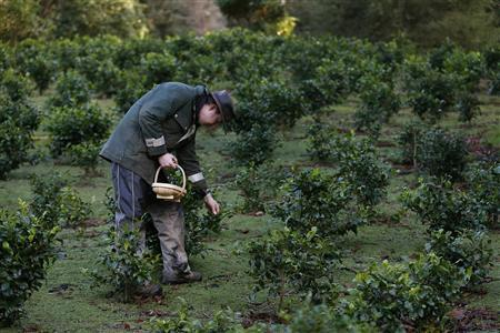 Wesley Goldsworthy picks tea leaves at the Tregothnan Estate near Truro in Cornwall January 14, 2013. REUTERS/Stefan Wermuth