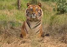 Tigre Real de Bengala descansa no centro de resgate de tigres do santuário de vida selvagem de Jaldapara, na Índia, em fevereiro de 2010. Centenas de especialistas munidos de câmeras sofisticadas começaram a percorrer as florestas das planícies meridionais do Nepal para contar o número de tigres ameaçados que vagam por seus parques nacionais, que se estenderá até a Índia. 21/02/2010 REUTERS/Rupak De Chowdhuri