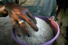 Imagen de archivo de una mujer recolectando arroz frente a su casa en Guaribas, Brasil, ago 7 2006. El Gobierno brasileño planea eliminar todos los impuestos federales sobre los alimentos básicos, dijo el martes la presidenta Dilma Rousseff, ampliando una serie de exenciones tributarias que apuntan a contener la inflación. REUTERS/Bruno Domingos