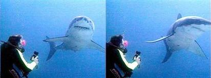 La Comisión de Caza y Pesca de California votó el miércoles para recomendar la protección del gran tiburón blanco, el mayor depredador del mundo, en la aguas de la Costa del Pacífico, bajo la ley estatal de especies en peligro de extinción. En esta imagen de archivo, un gran tiburón blanco se aleja de un buceador que emplea tecnología contr atiburones cerca de Durban, Sudáfrica. REUTERS/Natal Sharks Board/HO