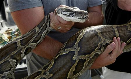 A previously captured 13-foot Burmese python is held by Capt. Shawn Meiman for the press to view before U.S. Senator Bill Nelson (D-FL) took part in a state-sponsored snake hunt, in the Everglades, Florida January 17, 2013. REUTERS/Joe Skipper
