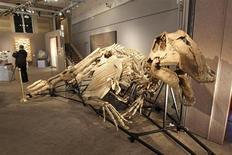 Los dinosaurios se extinguieron unos 33.000 años después de que un asteroide impactara con la Tierra, mucho antes de lo que pensaban los científicos, y esta podría no haber sido la única causa de la extinción, según un estudio. En la imagen, el esqueleto de un prosaurópodo, que medía 11 metros, en la casa de subastas Sotheby's en París, el 7 de octubre de 2011. REUTERS/Benoit Tessier