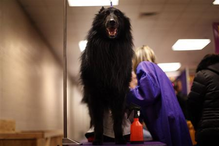 Tazer, a Belgian Sheepdog is groomed in the benching area prior to the first night of Group judging during the 137th Westminster Kennel Club Dog Show at Madison Square Garden in New York, February 11, 2013. REUTERS/Mike Segar