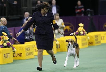 Jewel, an American Foxhound, runs with his handler during the Hound group judging at the 137th Westminster Kennel Club Dog Show at Madison Square Garden in New York, February 11, 2013. REUTERS/Mike Segar