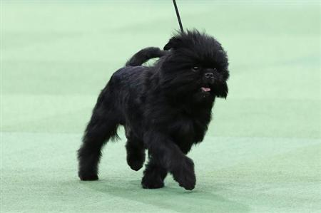 Banana Joe, an Affenpinscher who won the Toy Group, walks during competition at the 137th Westminster Kennel Club Dog Show at Madison Square Garden in New York, February 11, 2013. REUTERS/Mike Segar