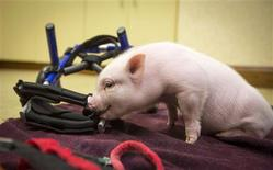The piglet known across the internet as Chris P. Bacon examines his new wheelchair on the office floor of veterinarian and owner Len Lucerno in Clermont, Florida February 13, 2013. REUTERS/Scott Audette