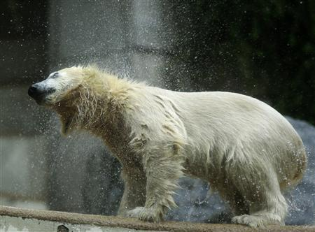 Polar bear cub Anori (R) shakes water off at the zoo in Wuppertal June 6, 2012. Anori was born on January 4, 2012. REUTERS/Ina Fassbender