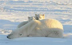 El deshielo en el océano Ártico el año pasado aumentó la materia vegetal disponible para alimentar a las criaturas que habitan en el fondo del mar, lo que podría dejar hambrientos a los osos polares en la superficie, según dijeron el jueves varios científicos. En la imagen de archivo, dos oseznos con su madre en Canadá en un fotografía tomada en 2010. Fund/Handout