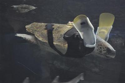 Aquarium fights to get disabled turtle swimming again