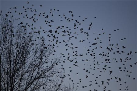 A flock of blackbirds search for trees to perch on in the town on Hopkinsville, Kentucky February 16, 2013. REUTERS/Harrison McClary