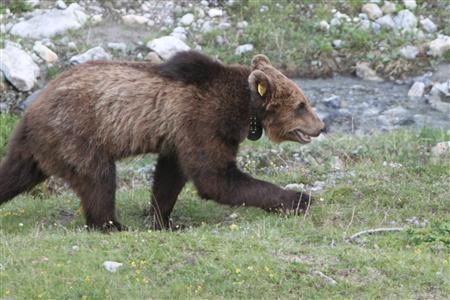 A handout picture shows a brown bear dubbed Mike by its fans in the eastern Swiss Val Mustair valley on June 30, 2012. The bear, known as M13 by authorities, has been shot and killed by gamekeepers in a mountainous border region in southeastern Switzerland after several run-ins with locals, Swiss officials said on February 20, 2013. How to deal with the bear had sparked controversy between gamekeepers and environmentalists far outside the Graubuenden canton, which borders on Italy and Austria and where the animal was most often spotted. Picture taken June 30, 2012. REUTERS/Amt fuer Jagd und Fischerei des Kantons Graubuenden/Handout