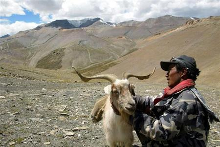 Indian nomad Sonan Stobgeus inspects his Pashmina goat at Taglang La in Ladakh in the state of Jammu and Kashmir August 22, 2002. REUTERS/Kamal Kishore/Files