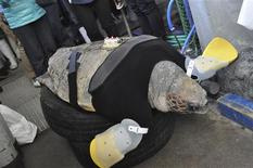 Un veterinario perforó una jeringa en el grueso y arrugado cuello de una tortuga marina en peligro de extinción llamada Crowe un día de esta semana en el Aquarium de Carolina del Sur extrayendo sangre oscura y roja para comprobar si el animal estaba preparado para volver a ser enviado de vuelta a su hábitat natural. En la imagen, de 11 de febrero, una tortuga de 25 años recibe cuidados al oeste de Japón. REUTERS/Suma Aqualife Park/Handout