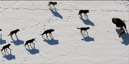 Gray wolves are seen nearing a Bison in Yellowstone National Park in this undated handout photograph released on February 21, 2008. REUTERS/Canon USA/Handout
