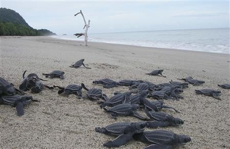 Leatherback turtle hatchlings head into the sea on the island of New Guinea in this 2012 photograph. REUTERS/Ricardo