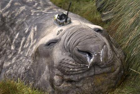 A Southern Ocean elephant seal wears a sensor on its head as it sleeps on an island in the Southern Ocean, Antarctica in this handout photo taken February 27, 2012. Elephant seals wearing head sensors and swimming deep beneath Antarctic ice have helped scientists better understand how the ocean's coldest, deepest waters are formed, providing vital clues to understanding its role in the world's climate. The tagged seals, along with sophisticated satellite data and moorings in ocean canyons, all played a role in providing data from the extreme Antarctic environment, where observations are very rare and ships could not go, said researchers at the Antarctic Climate & Ecosystem CRC in Tasmania. The sensor weighs about 100 to 200 grams and has a small satellite relay which transmits data on a daily basis. Picture taken February 27, 2012. REUTERS/Mark Hindell/Antarctic Climate and Ecosystems CRC/Handout
