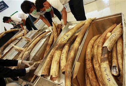 Thai custom officials display seized ivory tusks during a news conference at the customs office of Suvarnabhumi Airport in Bangkok in this February 25, 2011 file photo. REUTERS/Sukree Sukplang/Files