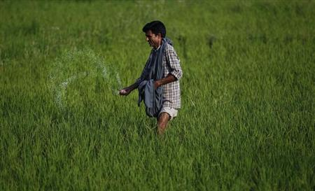 A Kashmiri farmer spreads fertiliser on a rice field on the outskirts of Srinagar June 22, 2011. REUTERS/Fayaz Kabli