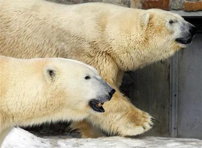 Polar bears Uslada (R) and Menshikov walk in their enclosure at a Zoo in St.Petersburg February 24, 2013. REUTERS/Alexander Demianchuk