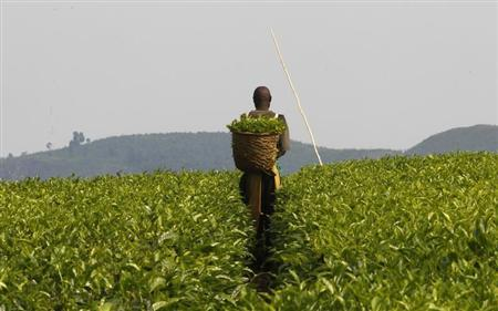 A worker picks tea at a plantation near Kasese town, 497km (309 miles) west of Uganda capital Kampala January 29, 2013. REUTERS/James Akena