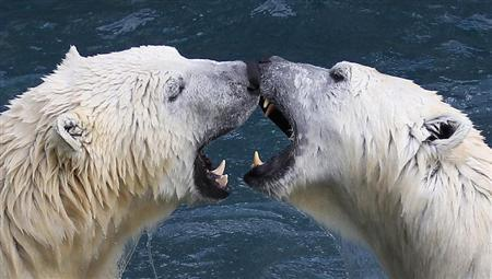 Polar bears playfully fight at the St-Felicien Wildlife Zoo in St-Felicien, Quebec October 31, 2011. REUTERS/Mathieu Belanger