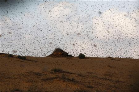A swarm of locusts fly near Kmehin in Israel's Negev desert March 5, 2013. The Israeli Ministry of Agriculture and Rural Development said on Tuesday that the location of the locusts which crossed into Israel from neighbouring Egypt had been mapped and and will be fumigated tomorrow. REUTERS/Amir Cohen