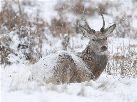 A deer sits in the snow in Richmond Park, London, January 18, 2013. REUTERS/Andrew Winning