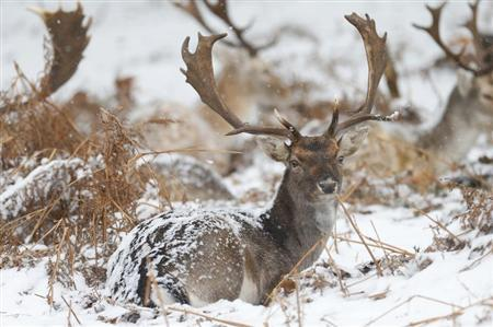 Deer sit in the snow in Richmond Park in London, January 18, 2013. REUTERS/Andrew Winning